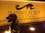 Night time walk with Jersey at Mandalay Bay